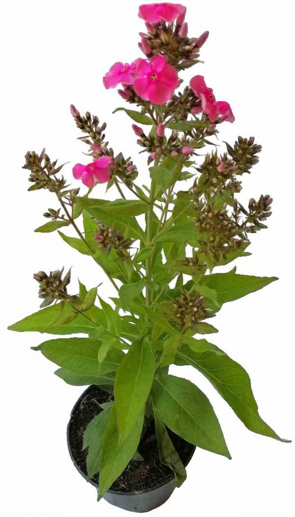 Flox Metlinatý - Phlox Paniculata