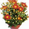 Chryzantéma pravá - Chrysanthemum indicum
