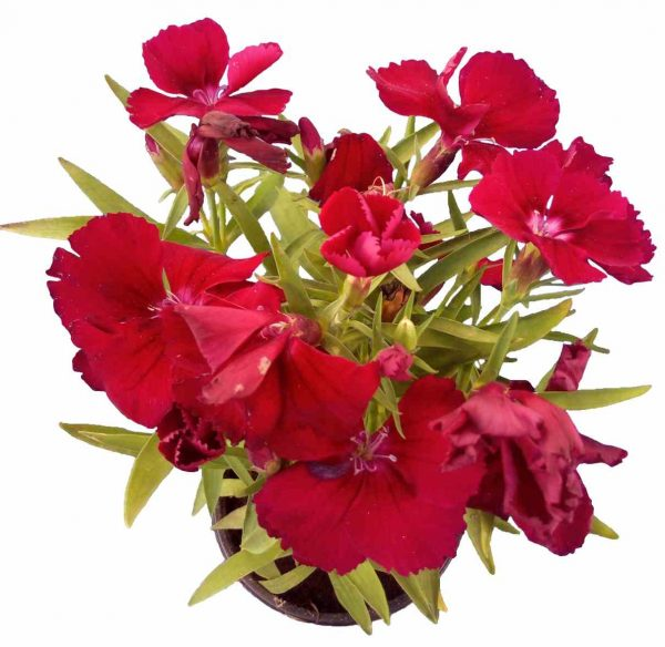 Klinček Dianthus Raspberry Parfait