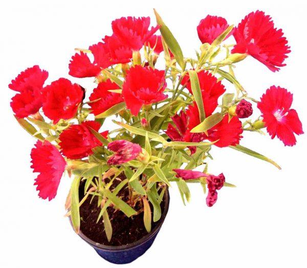 Klinček Čínsky - Dianthus Chinensis