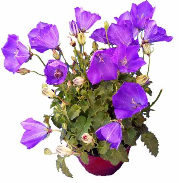 bf1eb3bb9 Karpatský zvonček (Campanula carpatica) - Moje Kvety Karpatský zvonček
