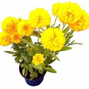 Krásnoočko Coreopsis grandiflora