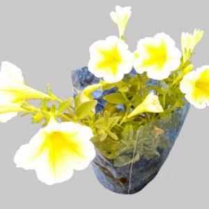 Petúnia Bonnie 'Lemon Yellow'