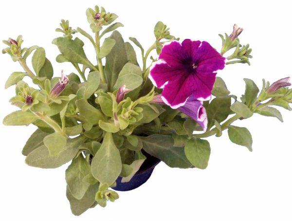 Petúnia Famous Dark Violet Picotee