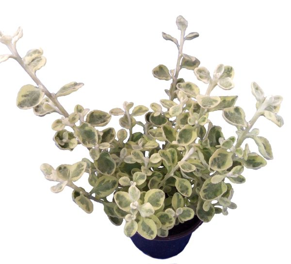 Slamiha Helichrysum petiolare
