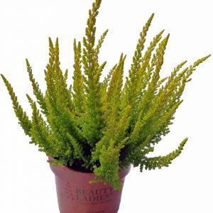 Vres (Calluna vulgaris) zelený nekvitnúci