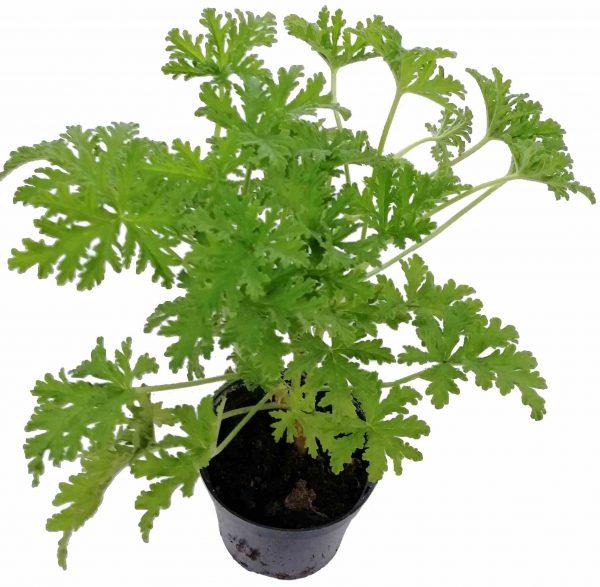 Muškát Citrónový - Pelargonium Crispum Lemon