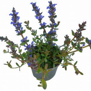 Zbehovec plazivý - Ajuga reptans - je nízka pôdopokryvná plazivá trvalka. Dorastá až do výšky 15 cm. Počas kvitnutia, keď sa nad ružicami listov týči početné vzpriamené kvetenstvo, dosahuje výšku 25 cm. Počas celej sezóny je táto odroda zdobená hnedofialovými listami a počas obdobia kvitnutia má modré alebo fialové kvety, ktoré vyzerajú skvele na tmavom pozadí.