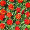 aksamietnica velkokveta cervena