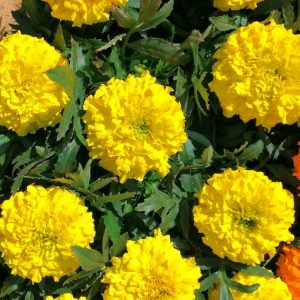 aksamietnica velkokveta zlte