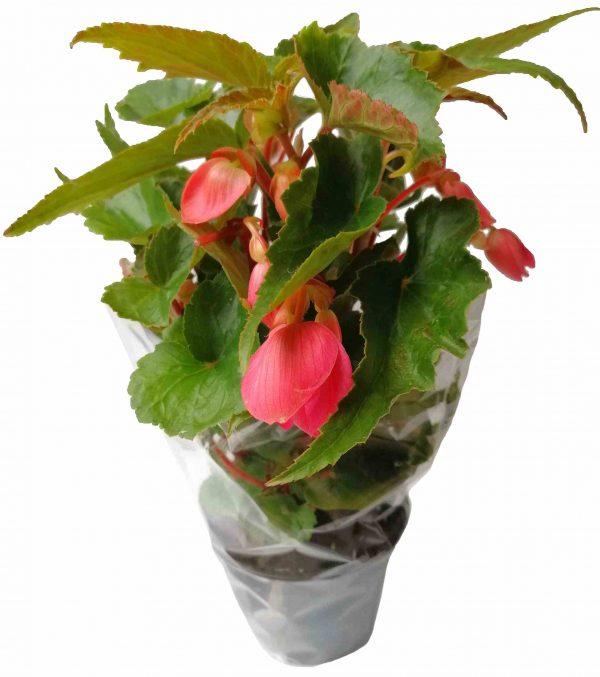 Begónia previslá - Tuberhybrida Pendula Flore Pleno