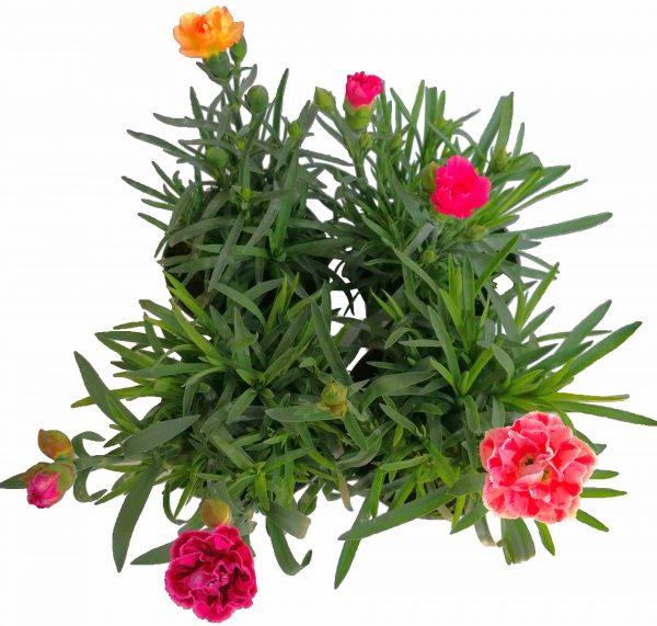 Klinček záhradný - Dianthus Caryophyllus