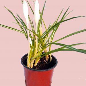 Krókus - Šafran (Crocus sativus)