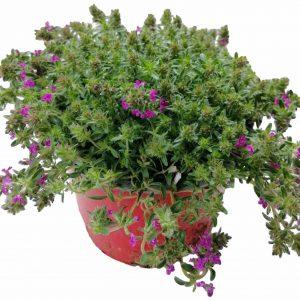 Materina Dúška - Thymus serpyllum