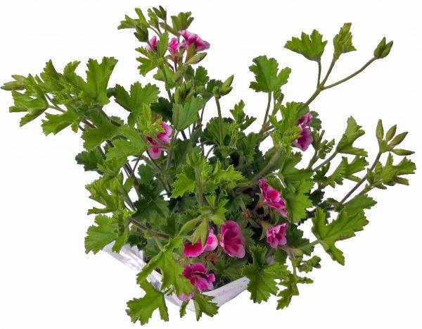 Muškát anglický mini - Pelargonium mini