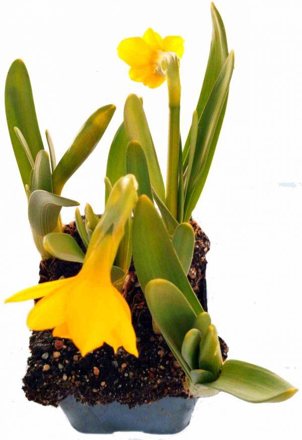 Narcis záhradný - Narcissus