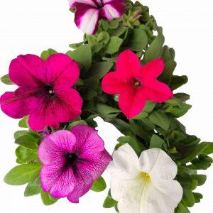 Petúnia kríčková - Grandiflora