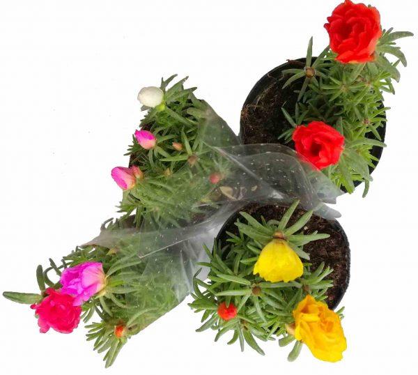 Portulaka veľkokvetá - Grandiflora