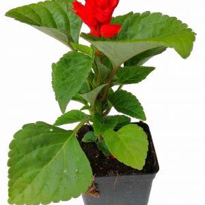 Šalvia ohnivá - Salvia splendens