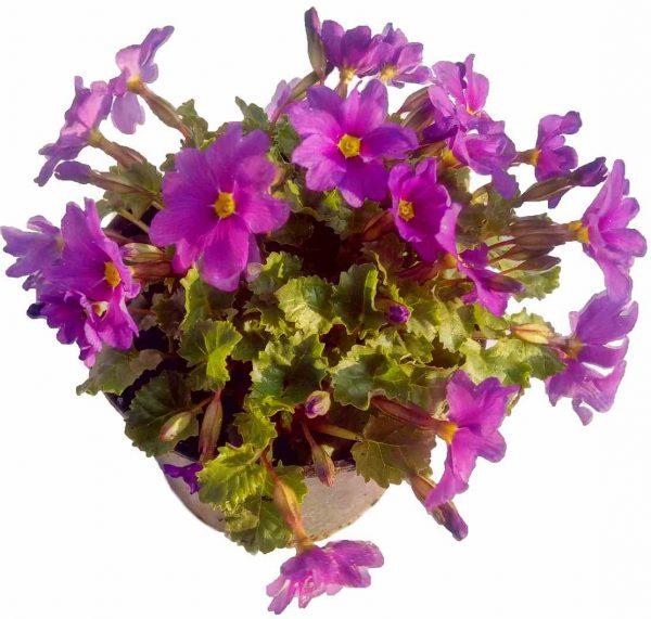 Prvosienka Himalájska Lúčna - Primula Rosea