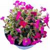 Tarička záhradná - Aubrieta Hybride