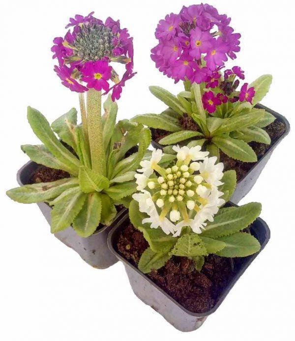 Prvosienka Zúbkatá - Primula Denticulata