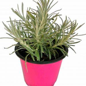 Maggi Bylinka - Helichrysum Italicum