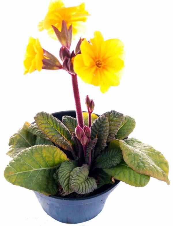 Prvosienka Jarná - Primula Veris