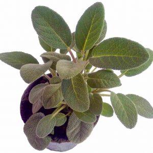 Šalvia Lekárska - Salvia Officinalis