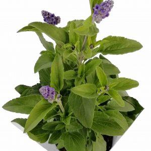Šalvia Farinacea - Salvia Farinacea